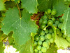 Grape harvest will be in March.  These grapes are almost ready.