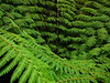 This is a view into the top of a tree fern -- about 12 feet in the air.  I  held my camera over it while standing on a switchback on the trail above it.