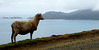 A roadside sheep with a view.
