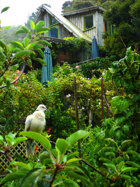 Ngaio Bay house, built 10 years ago by Roger and Jude -- and a laughing dove, a gift to Roger for his birthday.