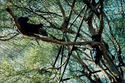 Healesville Sanctuary: lyrebird