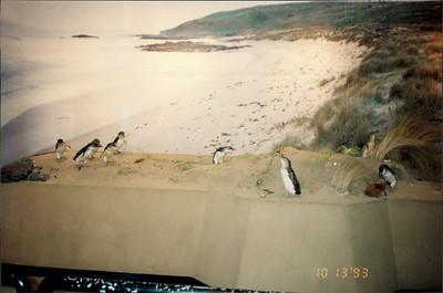 Phillip Island: fairy penguin exhibit