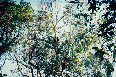 Phillip Island (working farm): koala #1