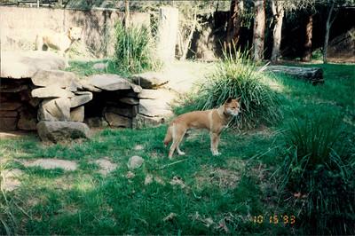 Healesville Sanctuary: dingos