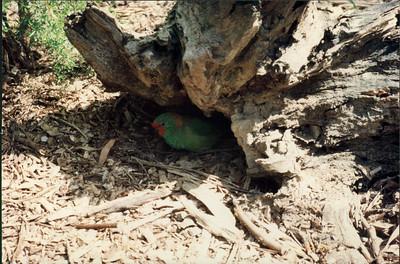 Healesville Sanctuary: parakeet