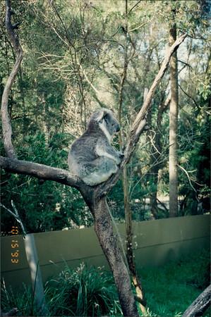 Healesville Sanctuary: koala close-up