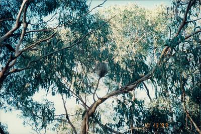 Phillip Island (working farm): koala #2