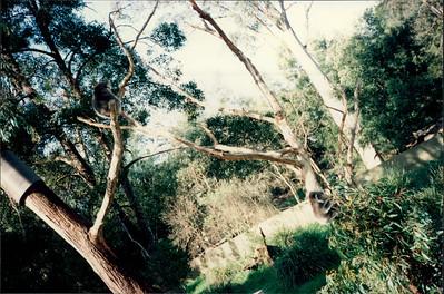 Healesville Sanctuary: koala