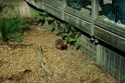 Healesville Sanctuary: echidna