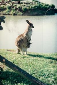 Phillip Island (working farm): kangaroo and joey
