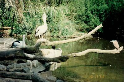 Healesville Sanctuary: pelicans