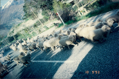 Travel to Mt. Cook: sheep in road on bus trip