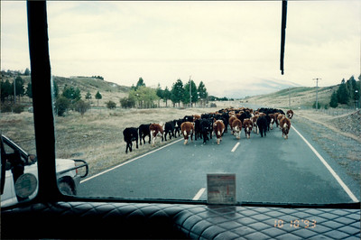 Travel to Christchurch: cows in road on bus trip