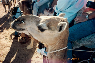 Alice Springs: camel ride - our designated camel