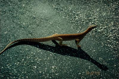 Ayers Rock: sand goana close-up
