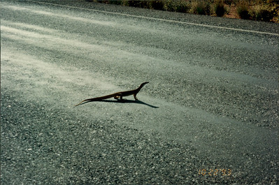 Ayers Rock: sand goana