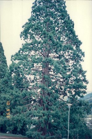 Queenstown: park - California redwood.  Seeds brought here years ago from US travelers.