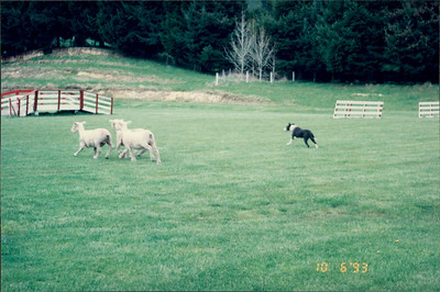 Rotorua: Agrodome - dogs rounding up sheep