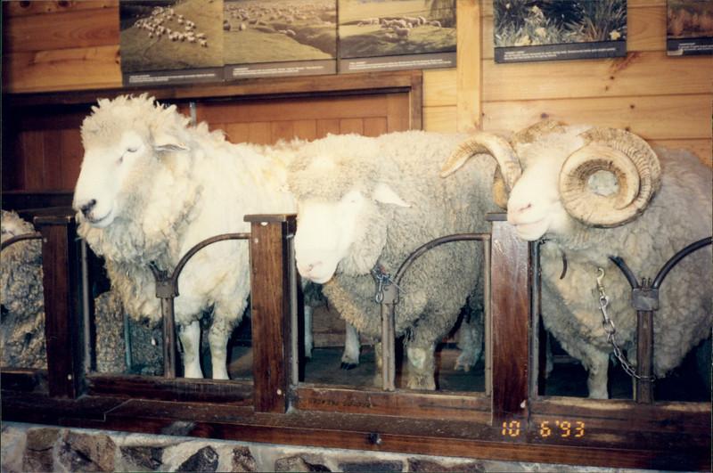 Rotorua: Agrodome - sheep on display