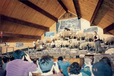 Rotorua: Agrodome - sheep show