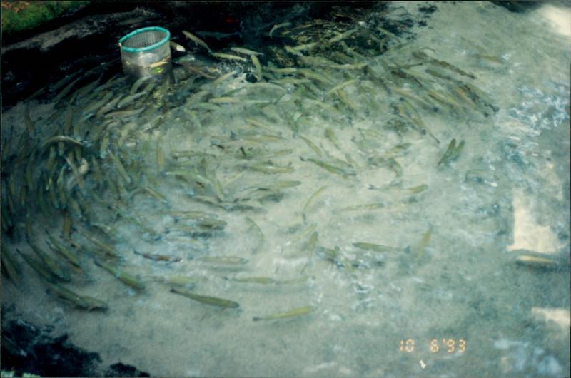 Rotorua: Rainbow Springs - crystal clear pool with giant rainbow trout