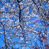 Cherry Trees in Branch Brook Park Newark