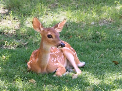 Newborn Fawns and Their Mamas