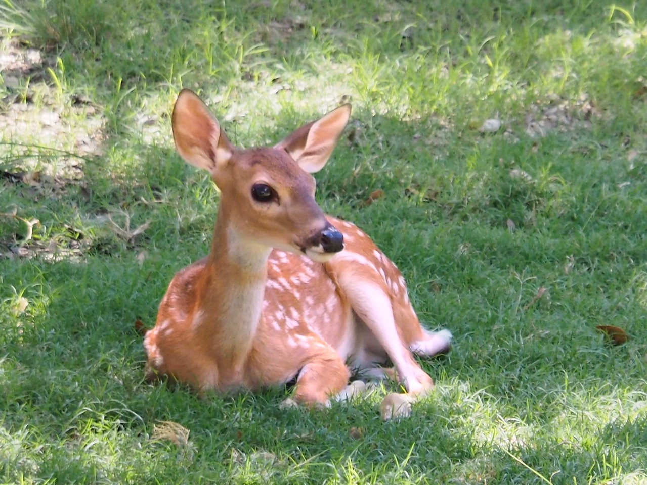 A very observant fawn.