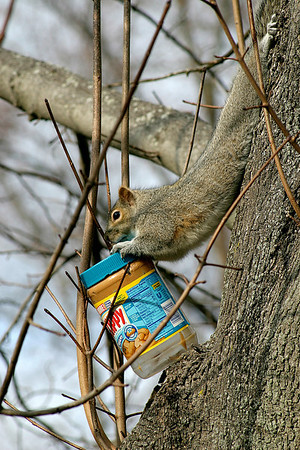 Newburyport: A lucky squirel struck gold as he desperately tries to carry a used jar of peanut butter up the tree with him on Longfellow Drive in Newburyport Monday afternoon. Photo by Ben Laing/Newburyport Daily News Monday December 15, 2008.