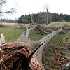 Amesbury: A massive downed tree lies in the middle of the Amesbury Town Park, a victim of last weeks ice storm. Photo by Ben Laing/Newburyport Daily News Monday December 15, 2008.