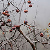 Amesbury:<br /> Apples softened by the recent cold temperatures hang at Cider Hill Farm in Amesbury on Monday morning.<br /> Photo by Bryan Eaton/Newburyport Daily News Monday, December 01, 2008