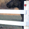 West Newbury: A black horse leans over a white fence at the Brown Spring Farm in West Newbury Sunday afternoon.photo by Jim Vaiknoras.Newburyport Daily News. Saturday December 27, 2008