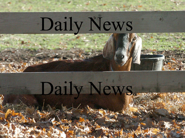 Newbury:<br /> A goat peers out from a fence at the Spencer-Peirce-Little Farm in Newbury on Wednesday afternoon. Its of several animals that take up residence at the historical property.<br /> Photo by Bryan Eaton/Newburyport Daily News Wednesday, November 12, 2008