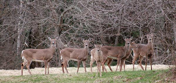 Newburyport: A herd of deer graze in a field near Maudsley State Park in Newburyport Wednesday afternoon. Photo by Ben Laing/Staff Photo