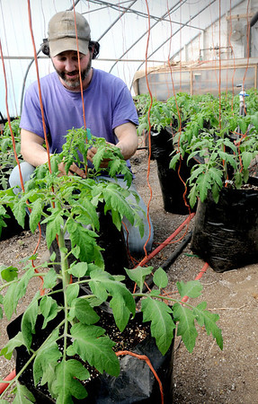 South Hampton:<br /> Andre Cantelmo of Heron Pond Farm in South Hampton ties up tomato plants to rope hanging from above in one of their greenhouses. The tomatoes are destined for CSA shareholders, which the farm is donating several of to families who depend on Our Neighbor's Table.<br /> Photo by Bryan Eaton/Newburyport Daily News Thursday, April 02, 2009