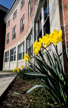 Newburyport: Daffodils line the walkway at the Newburyport Library on a bright spring morning Sunday. Jim Vaiknoras/Staff photo