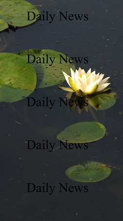 Amesbury: A water lily blooms in Patten Pond in Amesbury. Jim Vaiknoras/Staff photo