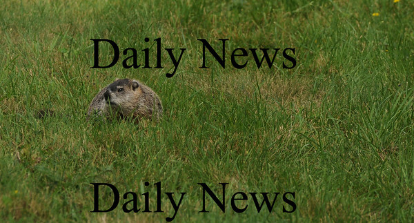 hampton:One of the many ground hogs at Sagamore Springs in Hampton. Jim Vaiknoras/Staff photo