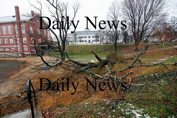 Newburyport: The large willow tree near the Newburyport Superior Court house at the Mall, blew over Wednesday, succumbing to the high winds brought on by the latest storm. Photo by Ben Laing/Staff Photo