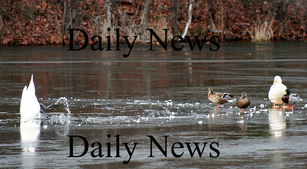 Newbury: A goose dives head first into a hole in the ice at Quills Pond in Newbury, as some ducks stand at the waters edge Tuesday morning. Photo by Ben Laing/Staff Photo