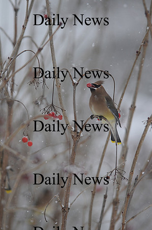 West Newbury: A cedar waxwing eats holly berries near Pipe Stave hill jim Vaiknoras photo