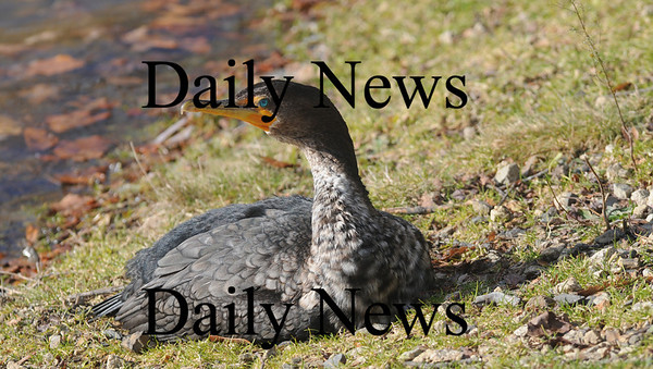 Newburyport: An injured cormorant sits on the shore at the Bartlett Mall Friday. Jim Vaiknoras/Staff photo