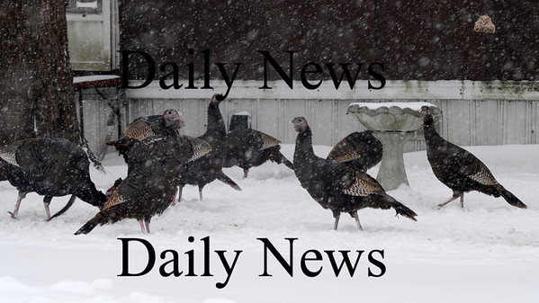 Salisbury: A rafter of turkeys gather in the snow off ferry Road in Salisbury Sunday morning. Jim Vaiknoras/Staff photo