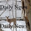 West Newbury: A young deer ventured into the yard of a home on Bathelor Street in West Newbury Thursday afternoon. Photo by Ben Laing/Newburyport Daily News Thursday February 12, 2009.