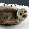Salisbury:<br /> A young harbor seal rests on an ice floe near the Fishtale Diner  in Salisbury on the Merrimack River yesterday morning. Several observers were concerned with the seal's health, though it's thought the mammal was resting.<br /> Photo by Bryan Eaton/Newburyport Daily News Wednesday, February 25, 2009