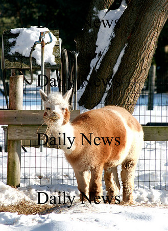 Newbury: The Alpacas at the Little's Lane Alpaca Farm snack on some hay while enjoying the sunshine Monday afternoon in Newbury. Photo by Ben Laing/Newburyport Daily News Monday January 26, 2009.