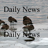 Salisbury: A gaggle of geese try to keep warm while standing on a patch of ice on the Merrimac near the Salisbury town dock. Photo by Ben Laing/Newburyport Daily News Monday January 5, 2009.