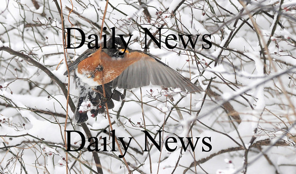 Newbury: A robin eats berries from a holly bush near the Plum Island Airport in Newbury.photo by Jim Vaiknoras/Newburyport Daily News. Sunday January 11, 2009.