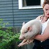 Newburyport: The Newburyport Animal Control officer helps recover an escaped pig on Water Street in Newburyport Tuesday afternoon. Photo by Ben Laing/Staff Photo