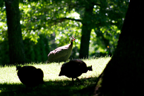 West Newbury: African Guinea hens wander through the front yard of a home on Spring Hill Road in West Newbury. The hens feed on ticks and are an effective means of dealing with the insects. Photo by Ben Laing/Staff Photo